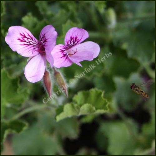 Scented Pelargonium - Geranium - 'Cola Bottles'