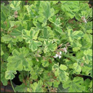 Scented Pelargonium - Geranium - Fragrans Variegatum