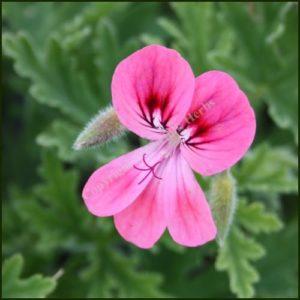 Scented Pelargonium - Geranium - 'Lara Starshine'