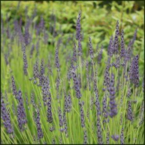 Lavender, Grosso - Lavandula x intermedia 'Grosso'