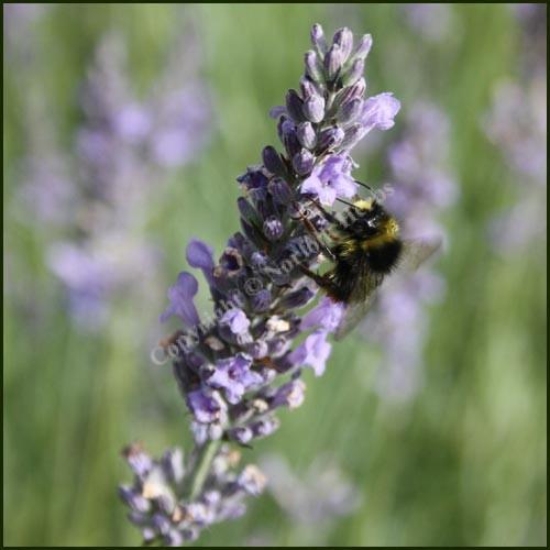 Lavender, Lullingstone Castle - Lavandula x intermedia