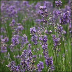Lavender, Munstead - Lavandula angustifolia