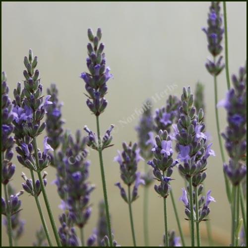 Lavender, Seal - Lavandula x intermedia