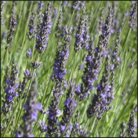 Lavender, Vera - Lavandula x intermedia