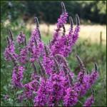 Purple Loosestrife - Lythrum salicaria
