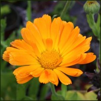 Marigold, Pot - Calendula officinalis