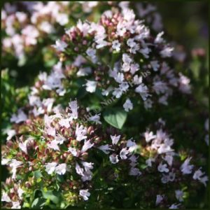 Marjoram, Compact - Origanum vulgare compactum