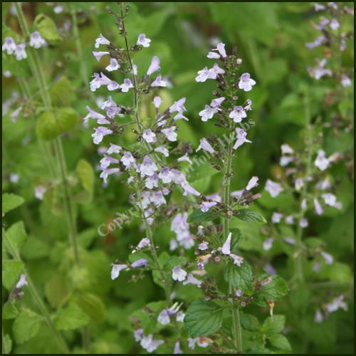 buy calamint lesser calamintha nepeta from norfolk herbs