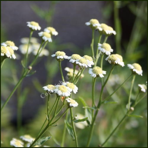 Buy Mace English Achillea Ageratum From Norfolk Herbs