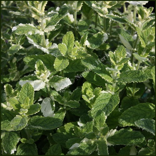 Buy mint pineapple mentha suaveolens 39 pineapple 39 from norfolk herbs - Aromatic herbs pots multiple benefits ...