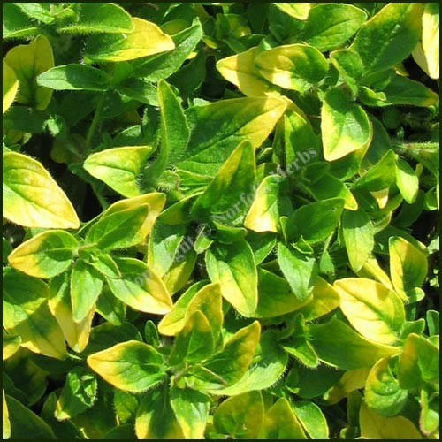 Marjoram, Gold Tipped