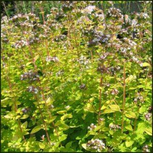 Marjoram, Golden - Origanum aureum Green