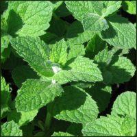 Mint, Apple - Mentha suaveolens