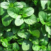 Mint, Basil - Mentha x piperita f. citrata 'Basil'