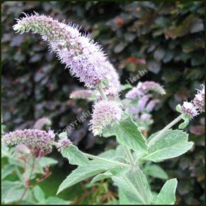 Mint, Buddleia - Mentha longifolia