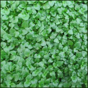Mint, Corsican - Mentha requienii