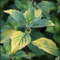 Mint, Ginger - Mentha gracilis