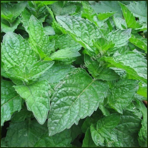 Mint, Grapefruit - Mentha x piperita f. citrata 'Grapefruit'