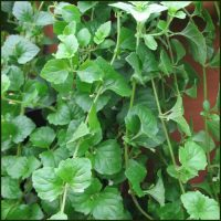 Mint, Indian - Satureja douglasii