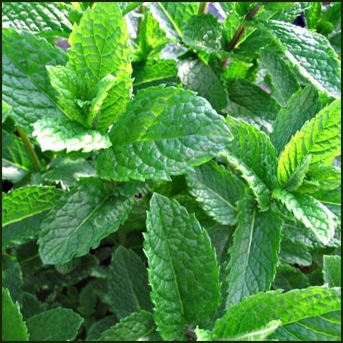 Mint, Moroccan - Mentha spicata var. crispa 'Moroccan'