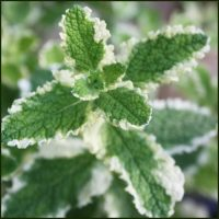 Mint, Pineapple - Mentha suaveolens 'Pineapple'
