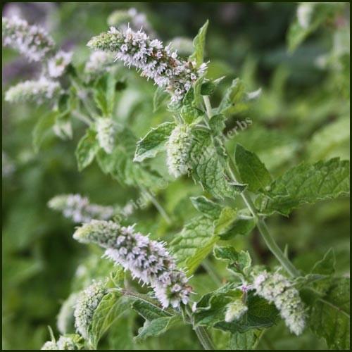 Mint, Silver - Mentha x longifolia