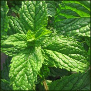 Mint, Tashkent - Mentha spicata 'Tashkent'