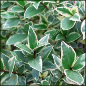 Myrtle, Variegated - Myrtus communis variegata