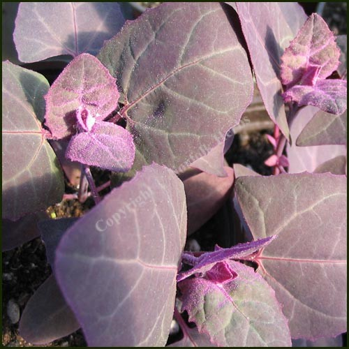 Orach, Red - Atripex hortensis