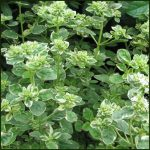 Oregano, Country Cream - Origanum variegata