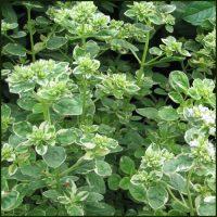 Oregano, Country Cream - Origanum variegata