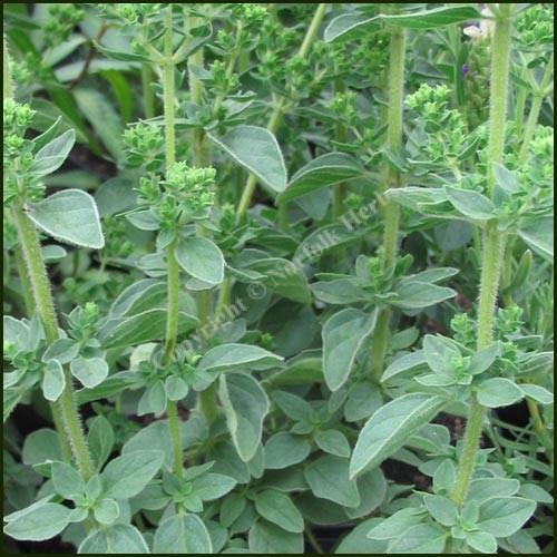 Oregano, 'Hot & Spicy' - Origanum vulgare