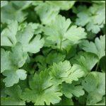Parsley, French - Petroselinum crispum French