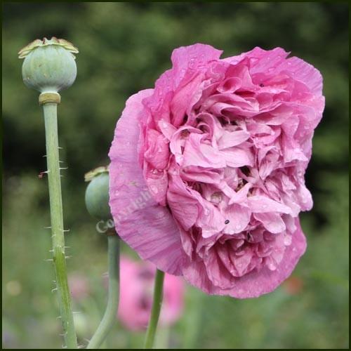 Poppy, Opium - Papaver somniferum