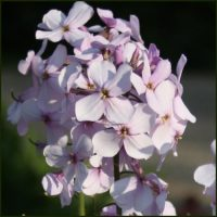 Rocket, Sweet - Hesperis matronalis