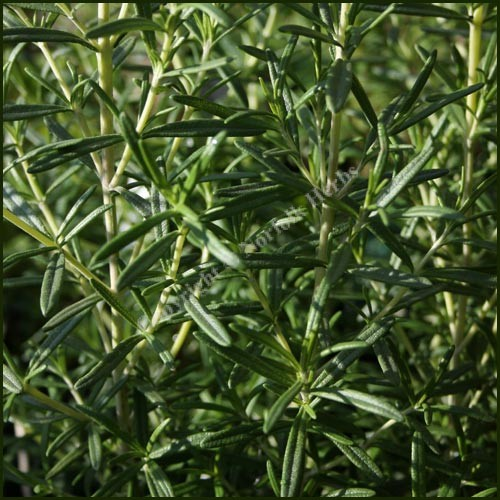 Buy rosemary rosmarinus officinalis from norfolk herbs - Aromatic herbs pots multiple benefits ...