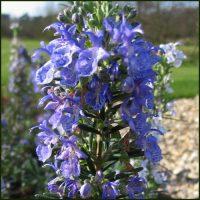 Rosemary, Blue Lagoon