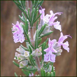 Rosemary, Majorca Pink