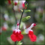 Sage, Blackcurrant - Salvia jamensis 'Hot Lips'