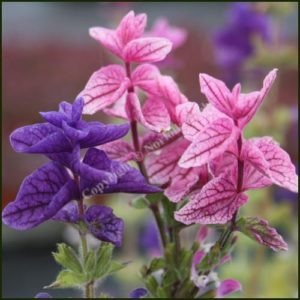Sage, Painted - Salvia horminum
