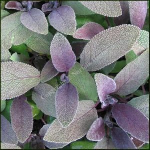 Sage, Purple - Salvia officinalis purpurascens