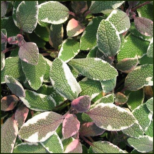 Sage, Tricolour - Salvia officinalis tricolour