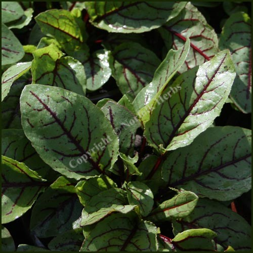 Sorrel, Red Veined - Rumex sanguineus
