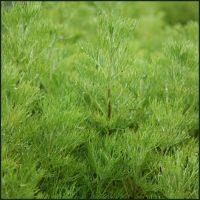 Southernwood - Artemisia abrotanum