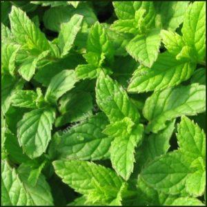 Mint, Spearmint aka Garden Mint - Mentha spicata