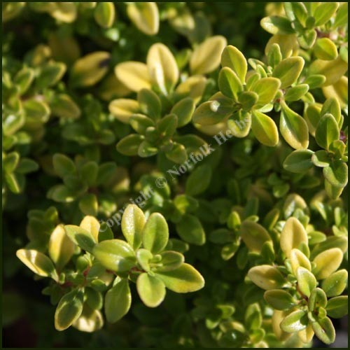 Thyme, Archers Gold - Thymus pulegioides