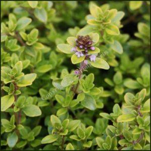Thyme, Bertrum Anderson - Thymus pulegioides