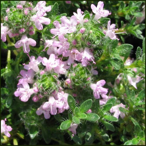 Buy thyme bressingham pink from norfolk herbs - Aromatic herbs pots multiple benefits ...