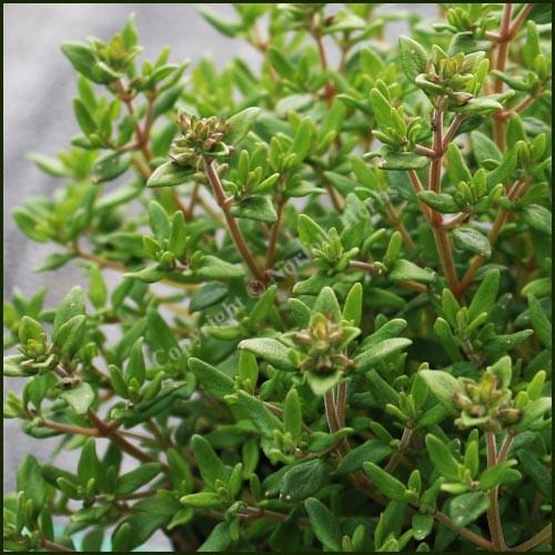 Thyme, Garden - Common Compact - Thymus compactus