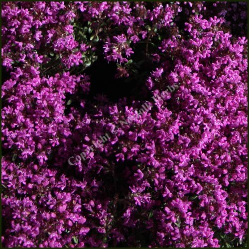 Thyme, Creeping Red - Coccineus group